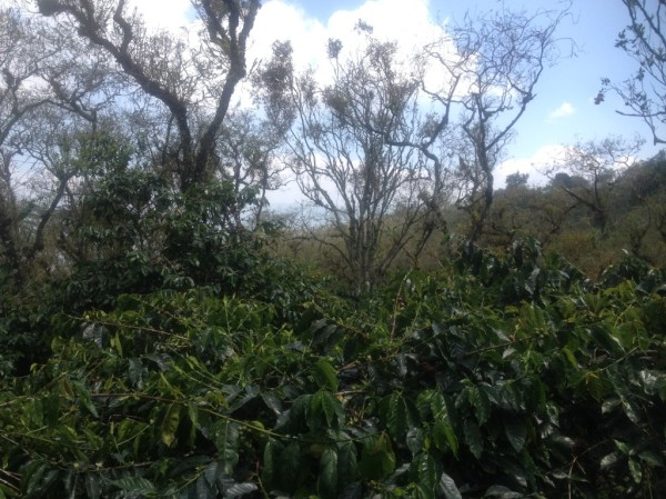 Tall legume-growing trees around a coffee plantation, providing shade and nitrogen.