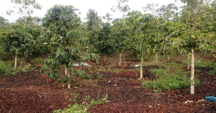 Coffee cherry pulps used as fertilizer
