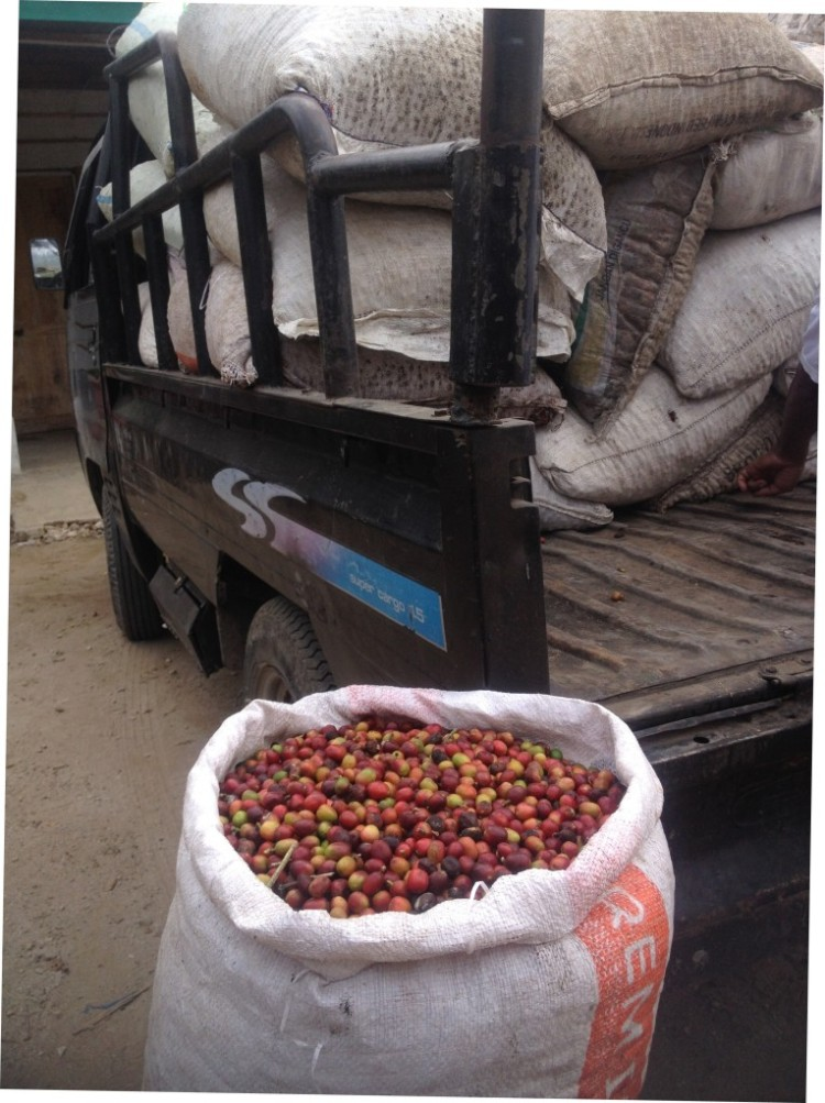 Coffee cherries bagged and ready to be taken to processing